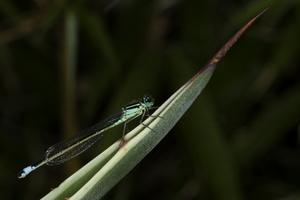 Agrion elegans (Agrion élégant)