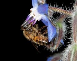 Apis mellifera sur fleur de bourrache