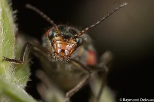 Grammoptera sp.
