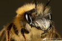 Pollinisateurs et hyménoptères