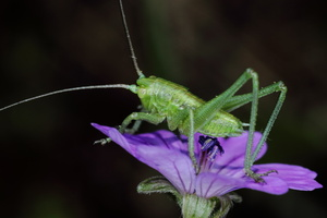 Leptophyes punctatissima (sauterelle)