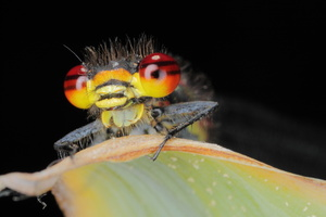 Pyrrhosoma nymphula (petite nymphe au corps de feu)